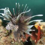 Lionfish (Genus Pterois) at www.LionfishHunters.org