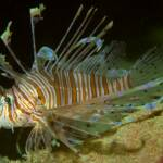 New species of Scorpionfish (Pterois andover)