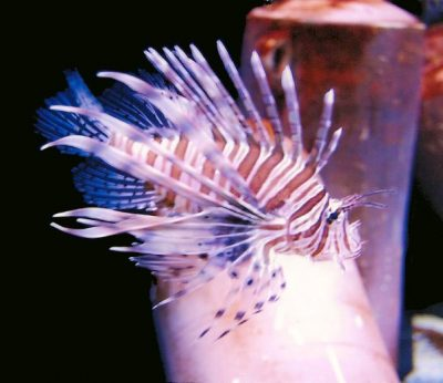 photo of Lionfish in the wild