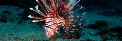 Lionfish Management