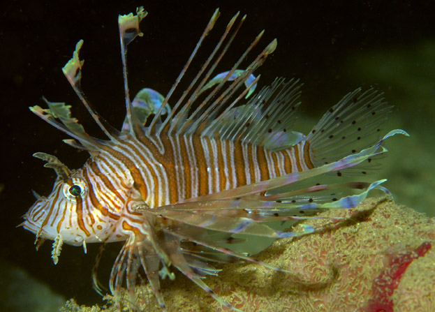 Pterois Andover