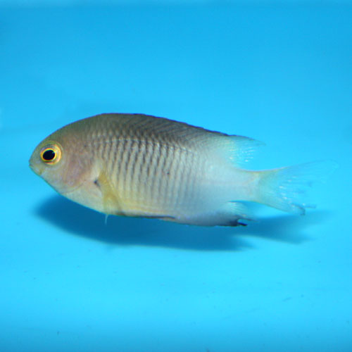 Bicolor Damselfish (Stegastes pertitus)